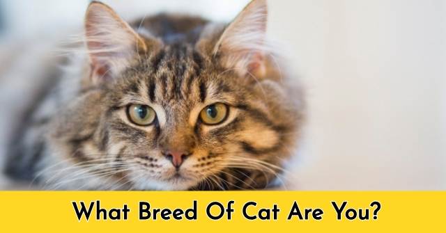 What Breed Of Cat Are You?