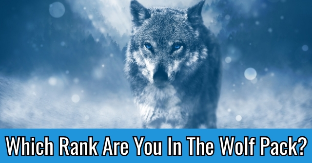 Which Rank Are You In The Wolf Pack?